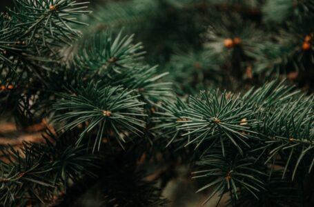 Sådan passer du bedst dine egne juletræer i haven